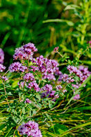 Oregano lilac with leaves