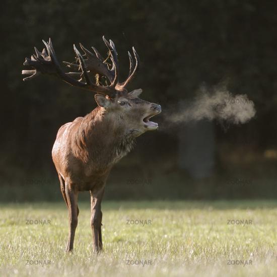 Red Deer * Cervus elaphus *, stag with visible breath cloud