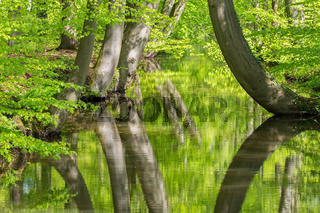 Beech tree trunks with water in spring forest