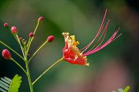 Caesalpinia Pulcherrima, Poinciana, peacock flower