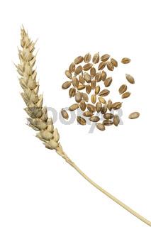 Getreideähre, Winterweizen (Triticum aestivum)