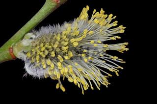 Sal-Weide (Salix caprea)