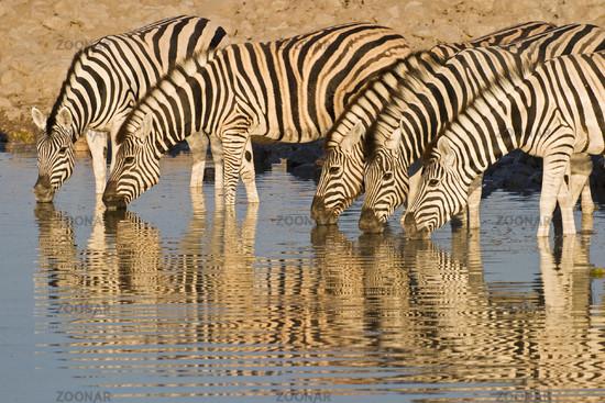 Common Zebras or Burchells Zebras, Etosha NP, Namibia, Africa