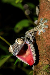 Giant Leaf-tail Gecko, Uroplatus fimbriatus, Madagascar