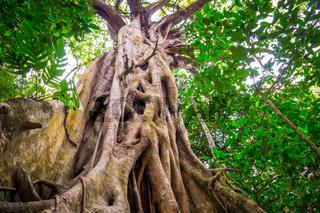 Fig Tree in Cape Tribulation rainforest