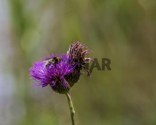Mariendistel (Silybum marianum) mit Biene
