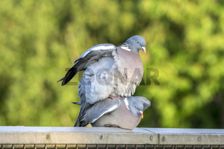 A Pair of Pigeons Mating