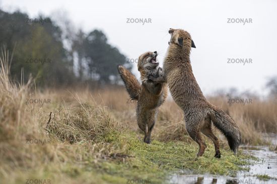 dancing... Red Foxes *Vulpes vulpes*#