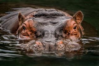 Submerged Hippo