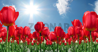 Red Tulips2