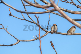 Sparrows on the branch. Sunny day. Blue sky. Beautiful early spring day.