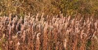 Field with fireweed flowers.