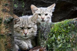 Europäische Wildkatze (Felis silvestris)  - European Wildcat
