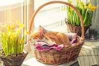 Morning sunlight on the sleeping red cat in basket with daffodils