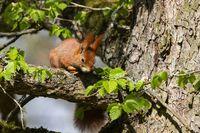 European Red squirrel, sciuridae