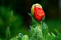 rising Poppy