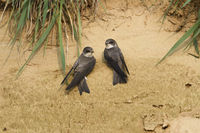 just after arrival in breeding territory... pair of Sand Martin / Bank Swallow *Riparia riparia*