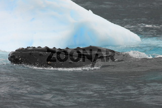 Humpback whale close to iceberg in Antarctica