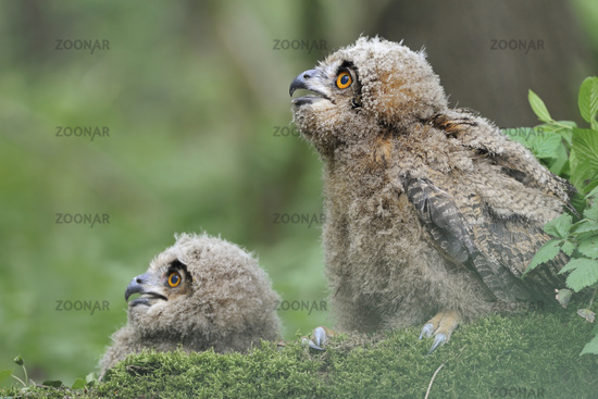 funny guys... Northern Eagle Owls *Bubo bubo*