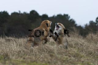 abwehrend... Rotfüchse *Vulpes vulpes* während einer Auseinandersetzung in der Ranzzeit