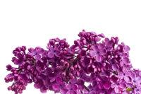 Flieder Blüten wd702