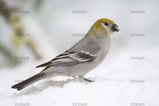 on snow covered ground... Pine grosbeak *Pinicola enucleator*