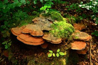 Flacher Lackporling oder Malerpilz an Baumstumpf