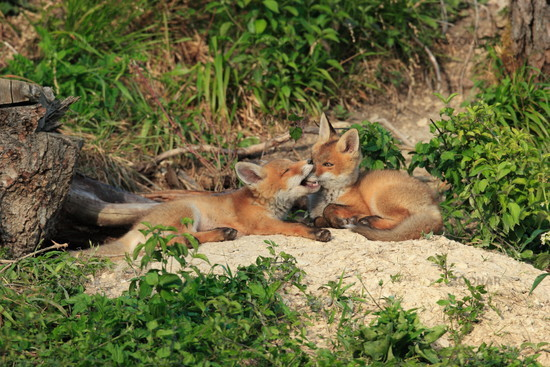 young foxes playing in front of the building