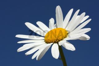 Blütenkopf der Margerite vor blauem Himmel
