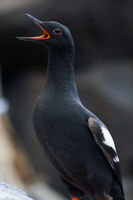 Pigeon Guillemot Bird with Open Mouth