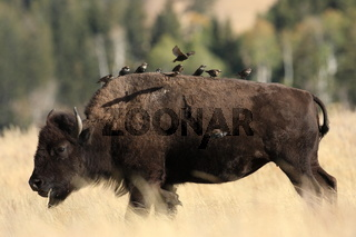 Bison mit Staren Yellowstone NP USA