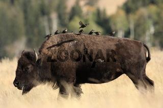 Bison mit Staren Yellowstone NP USA