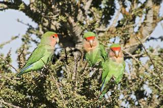 Rosenkoepfchen, Gattung der Unzertrennlichen, (Agapornis roseicollis), Kaokoveld, Namibia, Afrika,  Peach-faced Lovebird or Rosy-faced Lovebird, Africa
