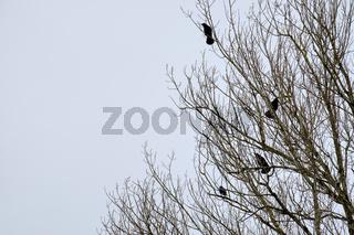 Raven on a tree