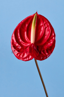 red flower on blue background