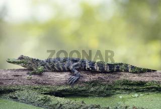 Young alligator basking on a log