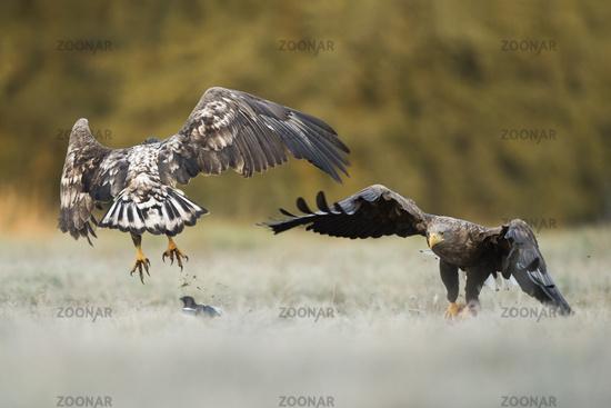 quarreling about food... White tailed Eagles *Haliaeetus albicilla*#