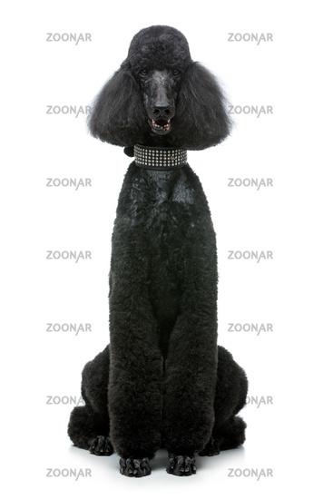 beautiful black poodle dog isolated on white