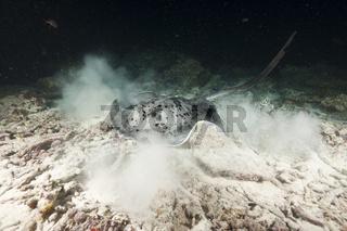 Schwarzpunkt-Stachelrochen jagt in der Nacht
