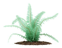 fern plant isolated on white background