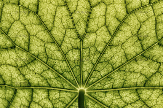 Under view of a nasturtium -