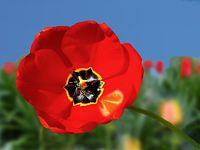 Wespe auf Tulpe
