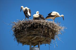 Stork nest with blue sky background