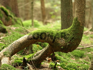 Fichte / Rottanne / Picea abies