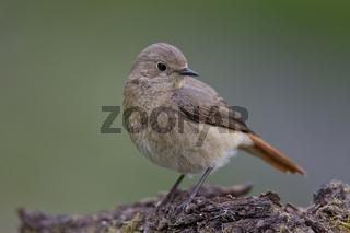 Gartenrotschwanz - Weibchen, Phoenicurus phoenicurus, common redstart - female