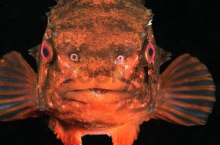 Seehase, zur Laichzeit, Saugscheibe, Cyclopterus lumpus,  lumpsucker fish during mating season, sucker plate