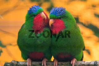 Blue-crowned lorikeet