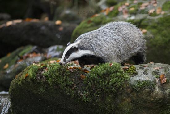 curious... European Badger *Meles meles*