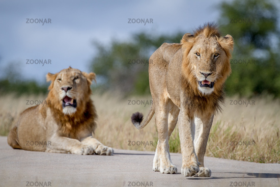 Two Lion brothers on the road.