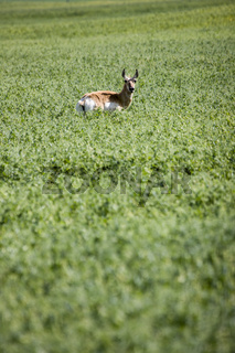 Antelope in Field